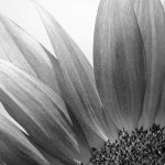 Closeup, black and white image of the top left qaudrant of a sunflower